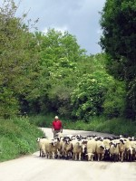 Βοσκός με τα πρόβατά του έξω από τα Πάνω Πεδινά στο Ζαγόρι
