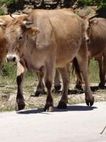 Κοπάδι από αγελάδες στο δρόμο προς το Μονοδένδρι και τη Βίτσα στα Ζαγόρια