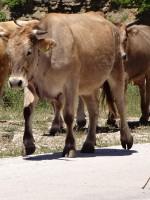 Een koe kudde lopen rustig op de weg tussen Monodendri dorp en Aspraggeloi dorp