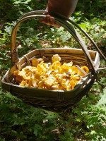 Mushroom picking in the Zagori. Pictured here chanterelles
