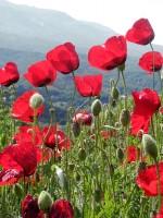 Spring tijd in de regio Zagori. De papavers in Griekenland zijn een voorbode van de Grieks-orthodoxe Pasen