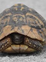 Και μία χελώνα στην άσφαλτο τού δρόμου από τα Κάτω Πεδινά προς την Αρίστη